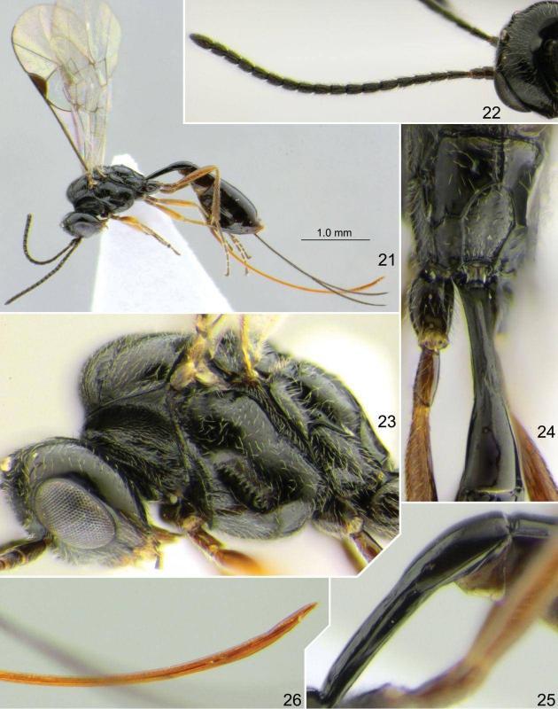 nueva especie de avispa